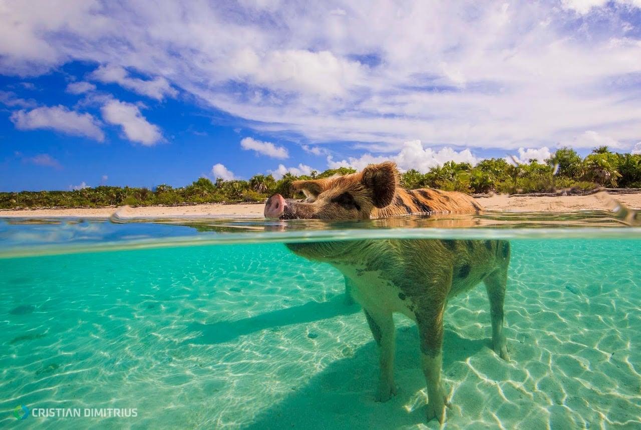 Conoce 'la isla de los cerdos', en Bahamas